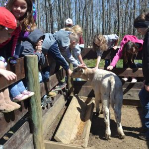 Annual Potato Planting Kids with Calf