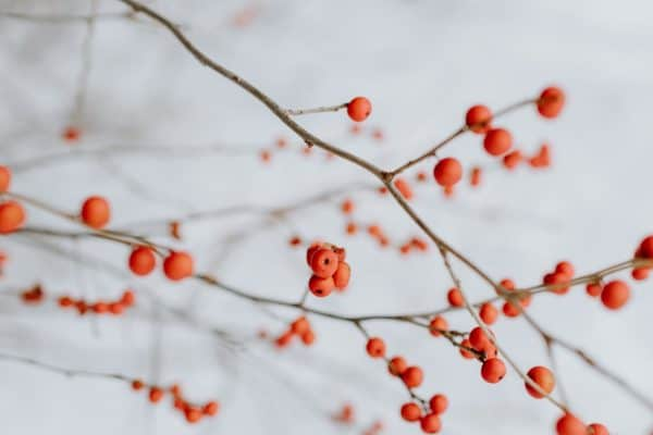 Winter Red Berries
