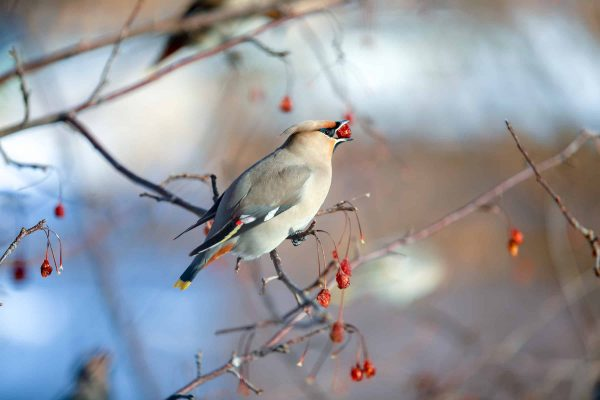 birds waxwing on the branches eat mountain ash