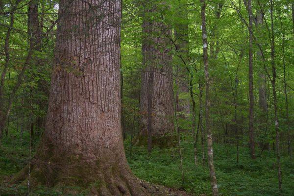 Tulip Tree Grove in Joyce Kilmer Memorial Forest