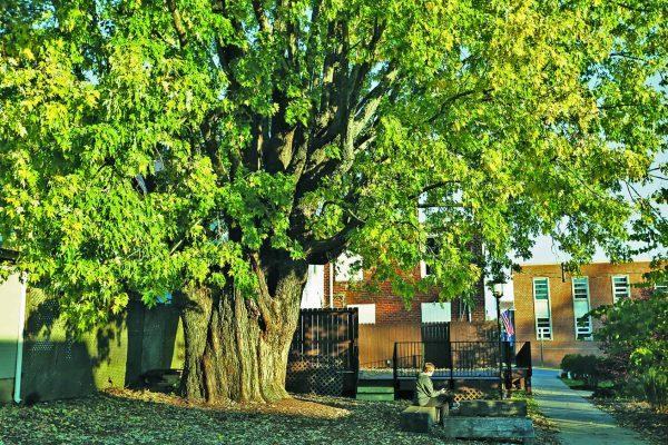 Floyd Maple Tree